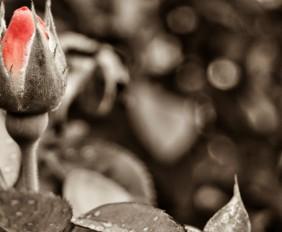 jardineiros-da-rosa